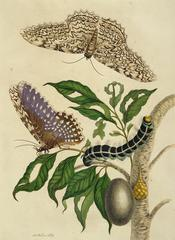 Maria Sibylla Merian, <i>Moths, Caterpillar, and Foliage, from Metamorphosis Insectorum Surinamensium</i>, 1705, hand-colored etching and engraving